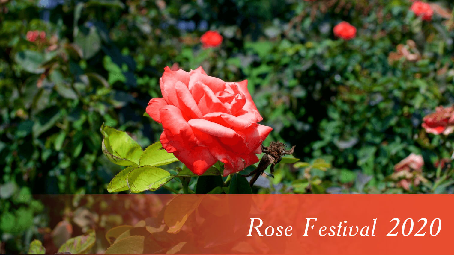 Rose Festival Chandigarh 2020