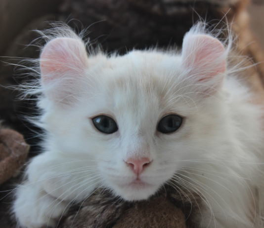 Interesting Facts About American-Curl Cat Breed