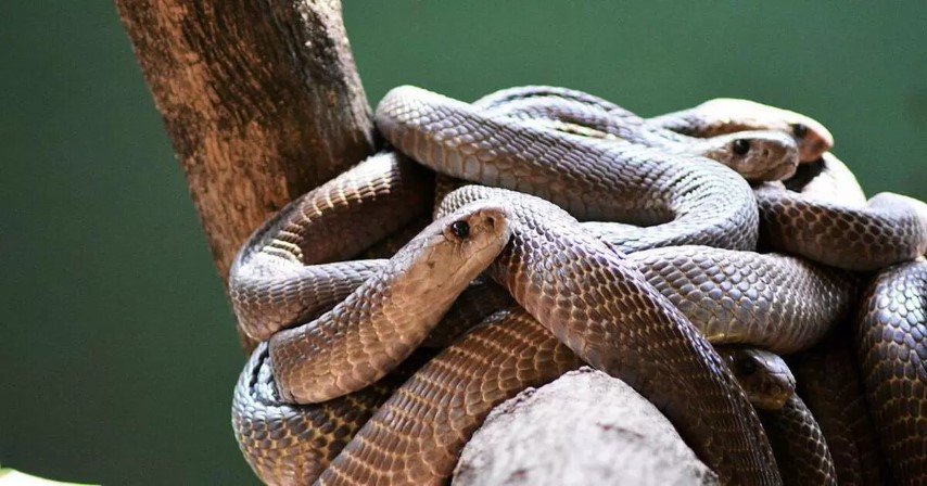 50 snakes in one house create scare in UP